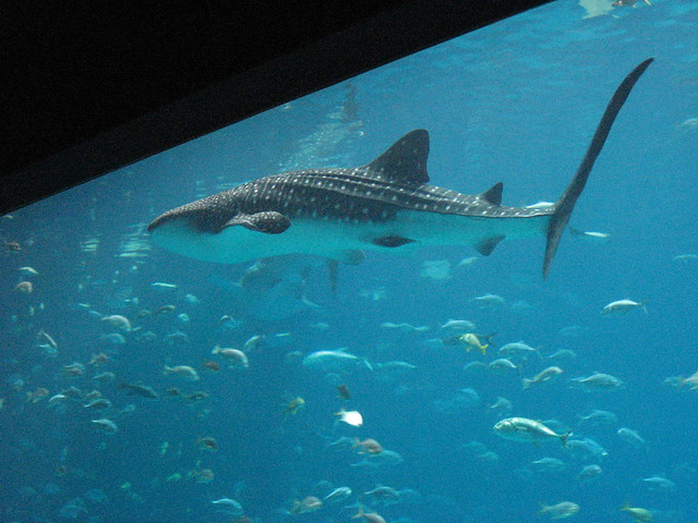 These whale sharks don 39 t eat fish flickr photo sharing for The fish that ate the whale