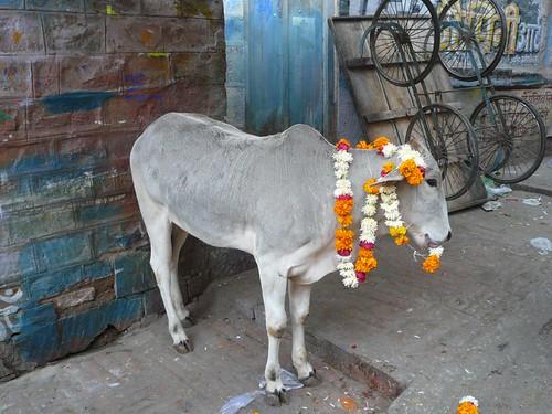 Bullock,  Jodhpur Bazaar