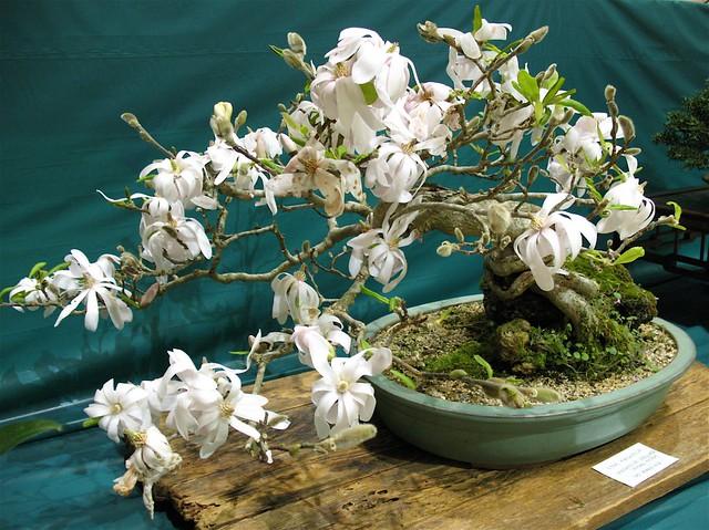 magnolia stellata 39 royal star 39 flickr photo sharing. Black Bedroom Furniture Sets. Home Design Ideas