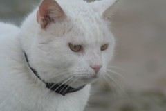 nose, animal, khao manee, small to medium-sized cats, pet, burmilla, turkish angora, cat, carnivoran, whiskers, domestic short-haired cat,