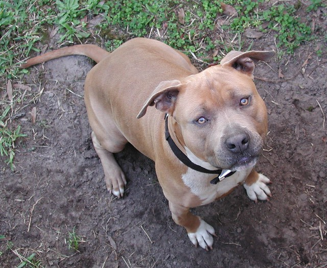 Can Pit Bulls Be Service Dogs In Illinois