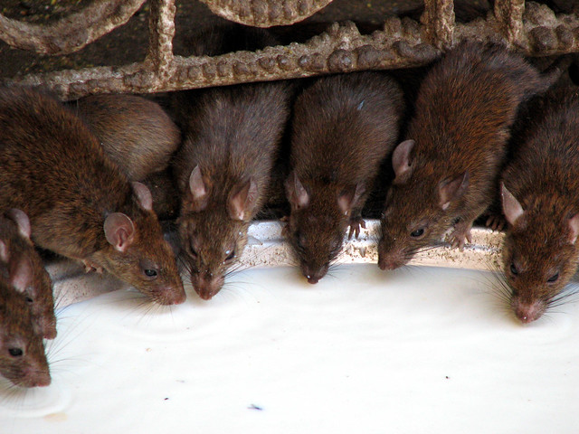Many Rats Song Suzuki
