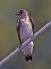 Northern Rough-winged Swallow - Photo (c) Jerry Oldenettel, some rights reserved (CC BY-NC-SA)