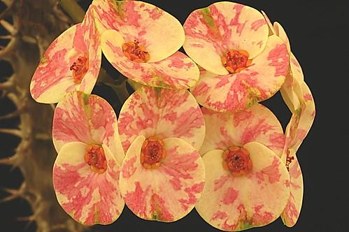 Euphorbia milii.