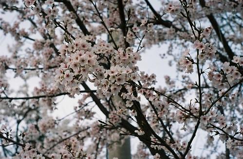작년 봄 벚꽃