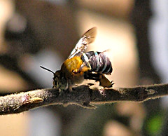 737 Blue Banded Bee