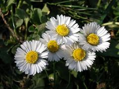 asterales, annual plant, flower, plant, marguerite daisy, chamaemelum nobile, daisy, wildflower, flora, oxeye daisy, daisy, petal,