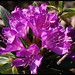 Common Rhododendron - Photo (c) Steve Chilton, some rights reserved (CC BY-NC-ND)