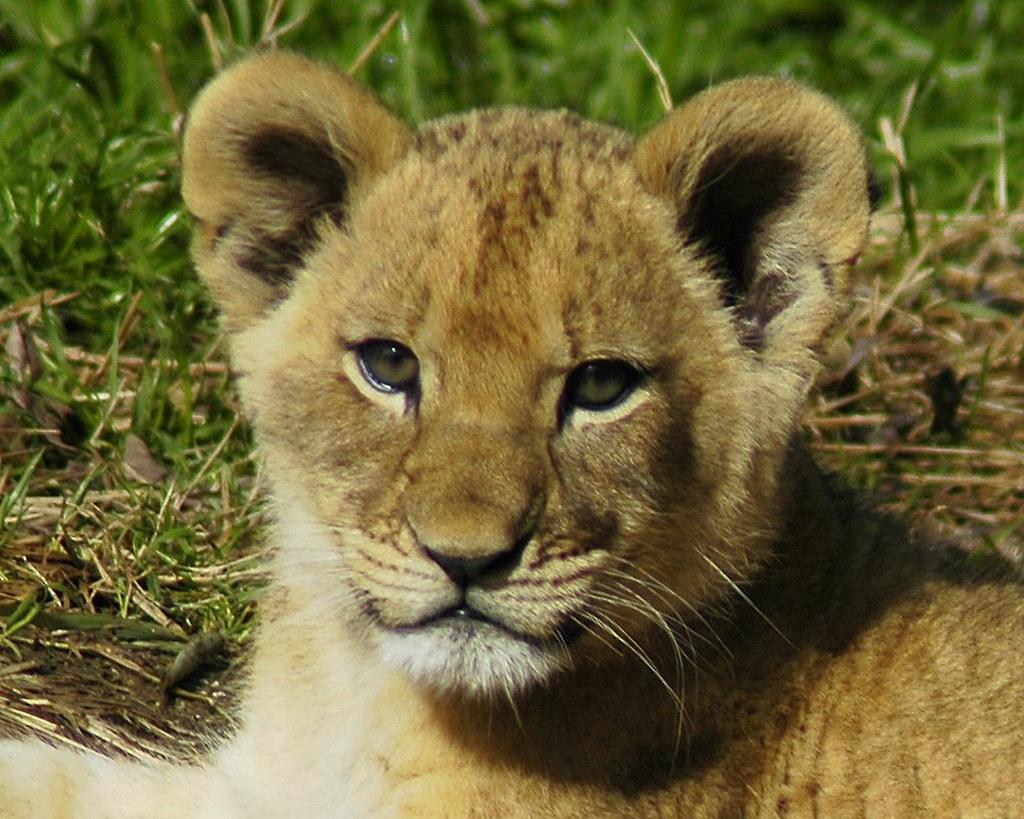Lion cubby