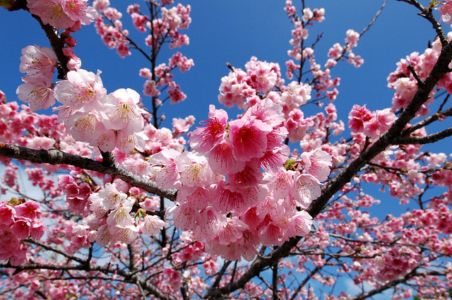 八重岳の桜