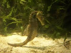 seahorse, animal, marine biology, fauna, aquarium,