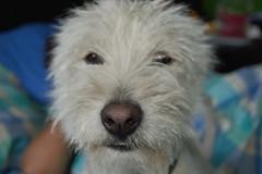 irish wolfhound(0.0), wire hair fox terrier(0.0), dandie dinmont terrier(0.0), cairn terrier(0.0), dog breed(1.0), animal(1.0), berger picard(1.0), dog(1.0), schnoodle(1.0), pumi(1.0), pet(1.0), norfolk terrier(1.0), glen of imaal terrier(1.0), norwich terrier(1.0), lakeland terrier(1.0), irish soft-coated wheaten terrier(1.0), goldendoodle(1.0), west highland white terrier(1.0), carnivoran(1.0), terrier(1.0),