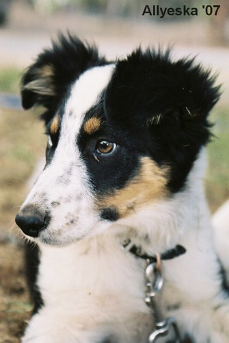 Border Collie pup, Australian National Sheepdog Trials, Canberra