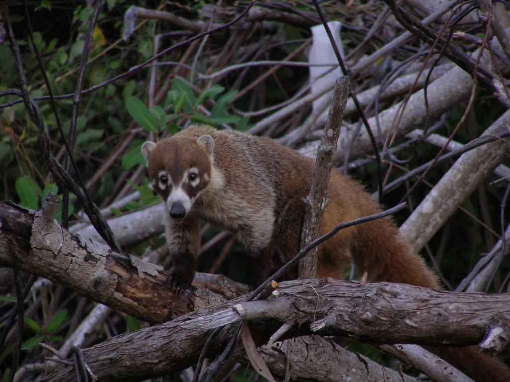 Mexican Tejon (Raccoon) | Seen behind our garden apartment i