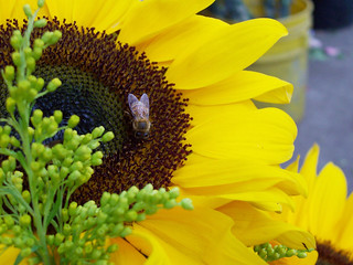 girasol y abeja / sunflower and bee