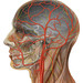 Human head anatomy with external and internal carotid arteries