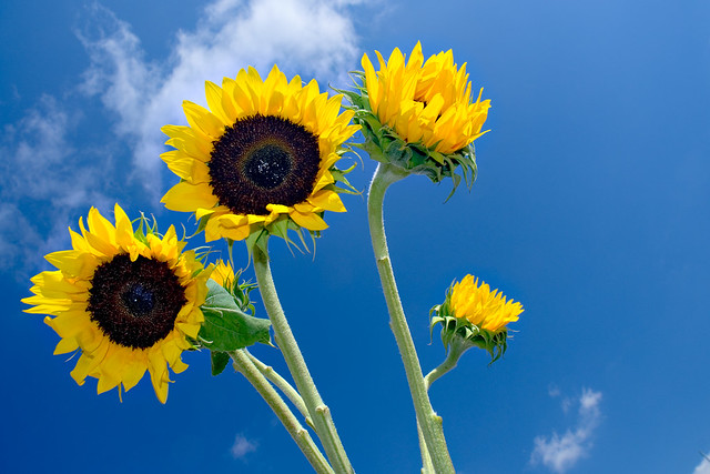 Sunflowers &  Blue Sky