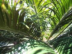 borassus flabellifer(0.0), flower(0.0), saw palmetto(0.0), plant stem(0.0), arecales(1.0), tropics(1.0), branch(1.0), leaf(1.0), tree(1.0), plant(1.0), flora(1.0), green(1.0), elaeis(1.0), vegetation(1.0),