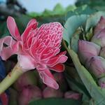 Pink Flower Delight - Krabi, Thailand