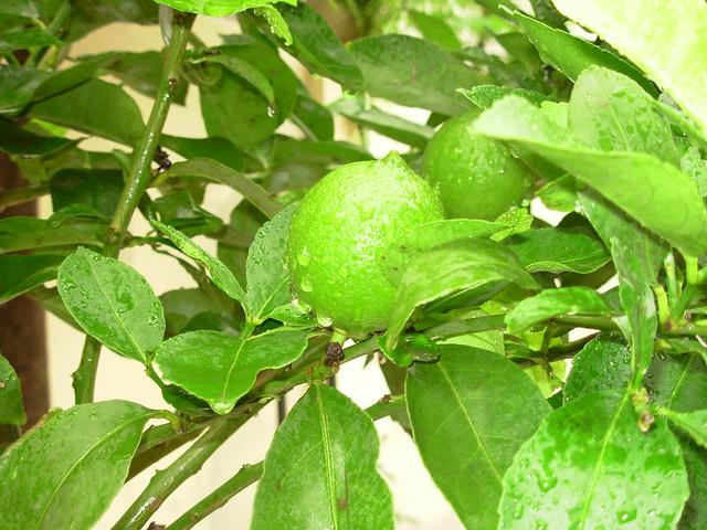 Mi planta lima lim n amo el limonero me gustaria tener for Viveros de plantas en lima