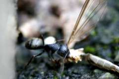 ant carrying a dragonfly carcass    MG 4737