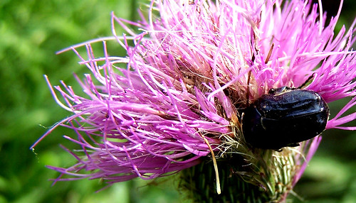 flowers camp plants flower macro nature colors texas purple native wildlife insects wildflowers beetles scarab texasthistle