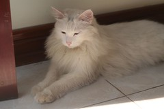 domestic long-haired cat, animal, turkish van, british semi-longhair, small to medium-sized cats, pet, turkish angora, ragdoll, cat, carnivoran, whiskers, norwegian forest cat, domestic short-haired cat,