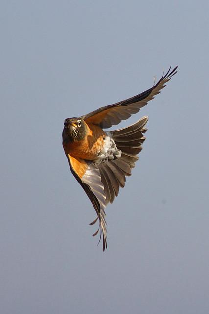 american robin bird flying - photo #43