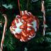red ribbon ornament