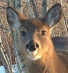 musk deer(0.0), wallaby(1.0), animal(1.0), deer(1.0), marsupial(1.0), kangaroo(1.0), fauna(1.0),