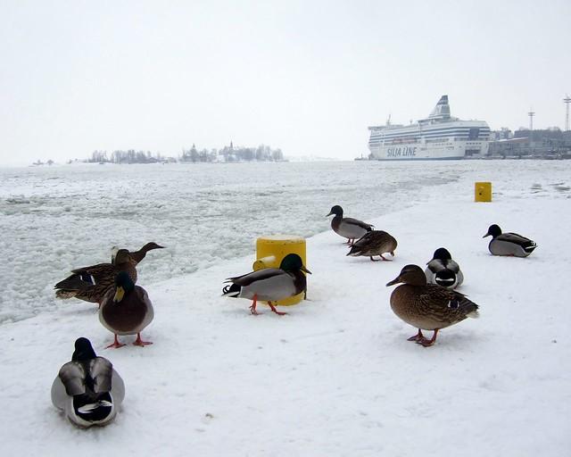 Estos patos no han emigrado