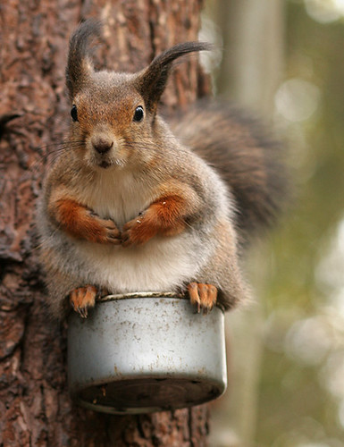 Squirrel on tin (Autumn wind 1)
