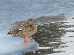 animal, water bird, duck, wing, fauna, mallard, seaduck, beak, bird,