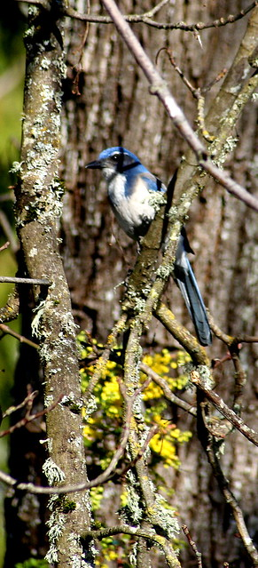 Scrub Jay | Flickr - Photo Sharing! Jay Z