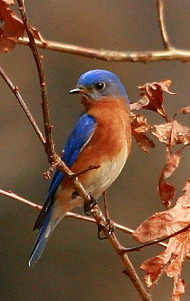 Eastern Bluebird On Oak