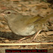 Olive Sparrow - Photo (c) Jerry Oldenettel, some rights reserved (CC BY-NC-SA)