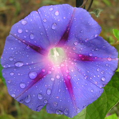 Morning Glory With Rain Drops Square Cropped 001