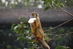 animal, branch, monkey, mammal, squirrel monkey, fauna, new world monkey, jungle, wildlife,