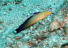 Purple Fire Goby at Similn Islands, Thaialnd