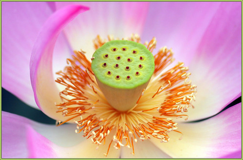 Lotus Blossom (wide open)