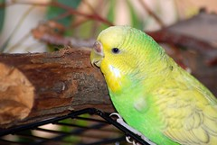 lovebird(0.0), lorikeet(0.0), animal(1.0), parrot(1.0), yellow(1.0), pet(1.0), green(1.0), fauna(1.0), parakeet(1.0), common pet parakeet(1.0), beak(1.0), bird(1.0), wildlife(1.0),