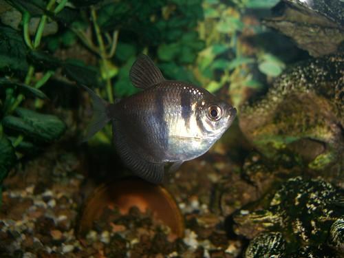 Miharu peces tropicales de agua dulce for Peces agua dulce