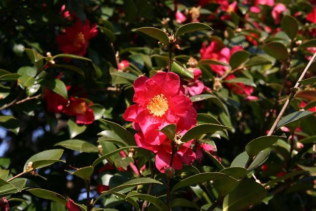 Camellia in Toyano Park, Niigata