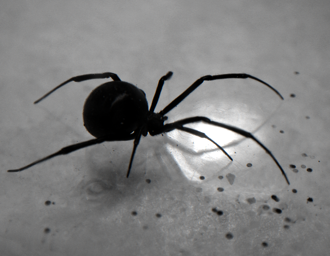 Black Widow Spider (B&W) - a photo on Flickriver