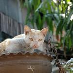 Cat - Luang Prabang, Laos