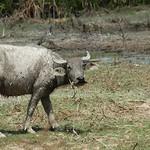 Water Buffalo Covered in Mud - Angkor, Cambodia
