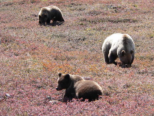 Sow and cubs, Denali National Park