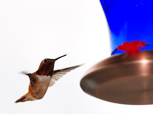 birds hummingbird sb600 300mm vernonia bluehousecafe vernoniaor vernoniaoregon