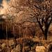 Full Bloom Almond Trees