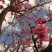 Apricot Blossoms in Gilgit.